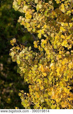 Beautiful Quaking Yellow Aspen Tree During Autumn, Taken In Rocky Mountain National Park