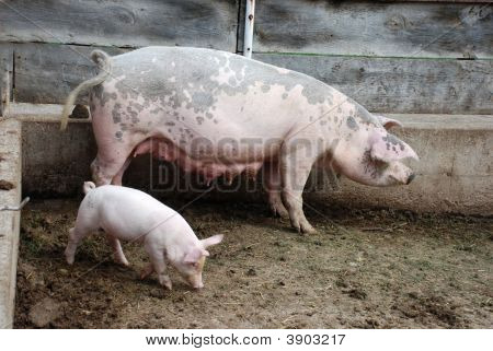 Piglet And A Mother Pig