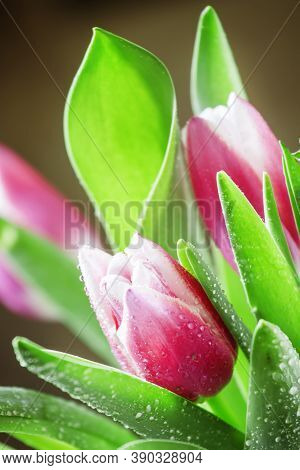 Bouquet Of Beautiful Pink And White Tulips With Dew Drops, Selective Focus, Shallow Depth Of Field