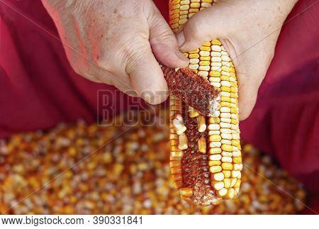 Close-up Of An Elderly Woman Hands Husking Corn Cobs