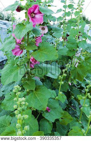 Bright Pink Mallow Sylvestris. Tall Beautiful Mallow Flowers.