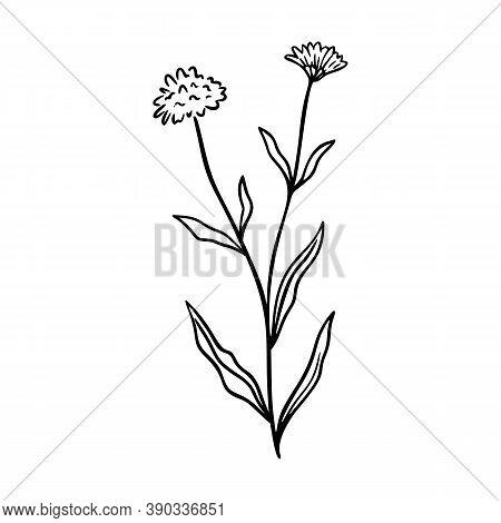 Cornflower Outline Hand Drawn Logo Element. Herbs Doodle Botanical Icon Cornflower For Logo. Herbal
