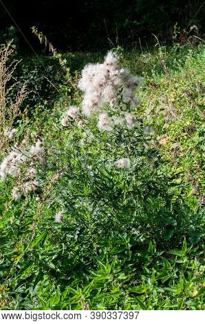 The Wilted Plant Of A Creeping Thistle With Fluffy Seeds In A Meadow