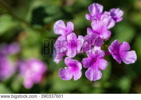 Close Up Of Mexican Petunias (ruellia Simplex) Blooming In California
