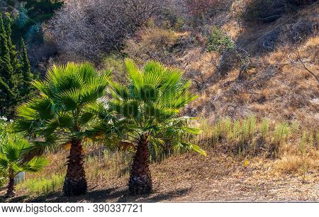 Palm Trees On The Foot Of The Hill In Belmont, California