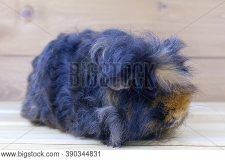 A Guinea Pig With Long Hair Sits On A Wooden Table. House Favourite. Geldings.