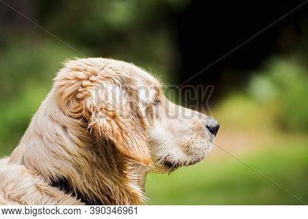 Adult Retriever Dog Or Labrador Retriever Looking Forward. Side Profile View Of A Labrador Retriever