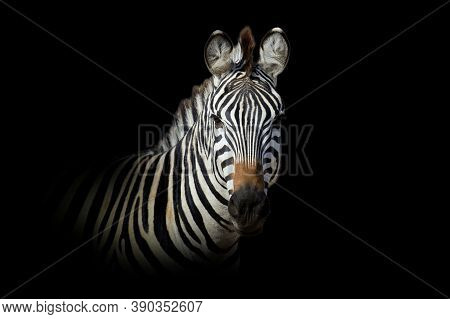 Close Up View Zebra. Wild Animal Isolated On A Black Background