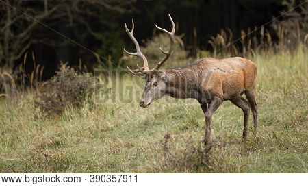 Majestic Red Deer Walking On Glade In Autumn Nature.