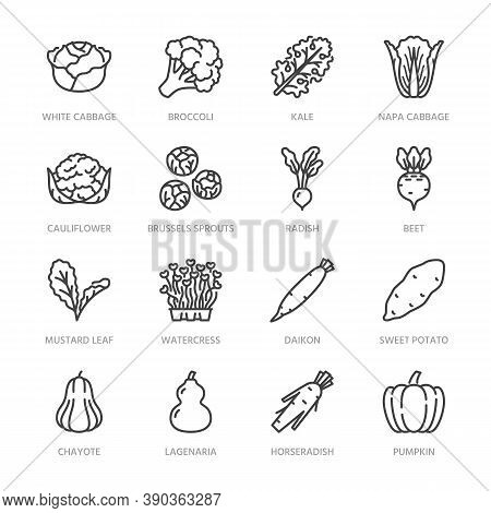 Cabbage Vegetables Flat Line Icons Set. Kale, Broccoli, Cauliflower, Brussels Sprouts, Radish Daikon