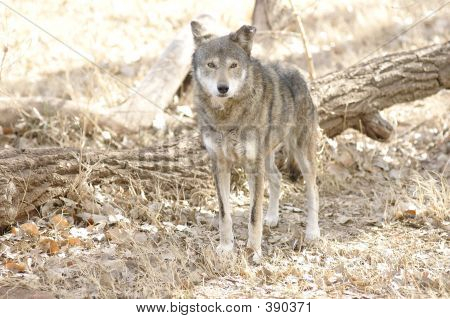 Red Wolf Watching