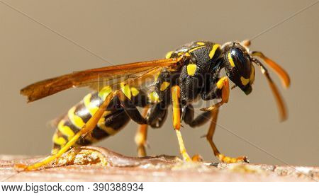 Wasp Or German European Wasp Yellowjacket In Latin Vespula Vulgaris