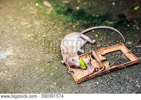 Rat Caught In A Rusted Trap. Rat Hungry. Food Lures Rats Into A Trap. Rat Neck Trap. On The Cement R