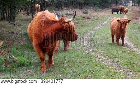 Highland Cattle: A Female Highland Cow Is Looking Behind At A Young Calf, In A Nature Reserve In Aut