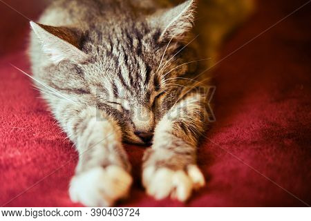 The Cat Is Sleeping, Stretching Its Paws In Front Of Him On A Red Coverlet.