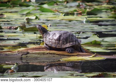 Pet Thrown By The Owner Into The River. Red-eared Turtle In The Lake On A Log. Trachemys Scripta Bas
