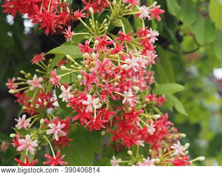 Rangoon Creeper, Chinese Honey Suckle, Drunen Sailor, Combretum Indicum Defilipps Name Red Pink And