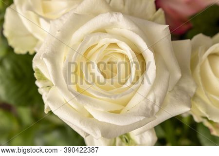 Beautiful White Rose. Close Up. Concept Image For A Greeting Card