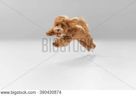 Happiness. Maltipu Little Dog Is Posing. Cute Playful Braun Doggy Or Pet Playing On White Studio Bac
