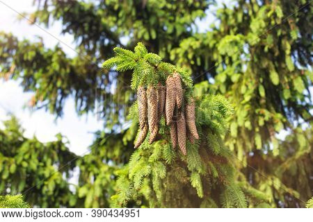 Beautiful Spruce Branch With Large Oblong Cones In The Sun. Conifer In Nature, European Spruce