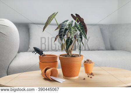 Alocasia Sanderiana Bull Or Alocasia Plant In Clay Pot On Wooden Table In Living Room. Clay Pots And
