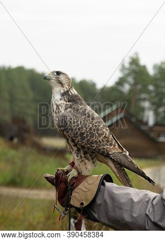 Falcon Trained To Falconry Sits On A Special Glove