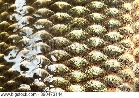 Fish Scales Skin Texture Macro View. Geometric Pattern Photo Crucian Carp Carassius Scaly. Selective
