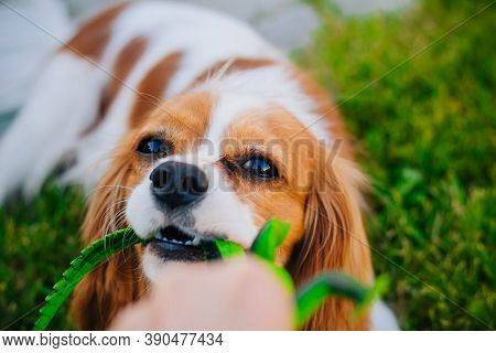 Cavalier King Charles Spaniel Puppy, White With Red Spots. A Playful Dog Holds A Toy Lizard In His T