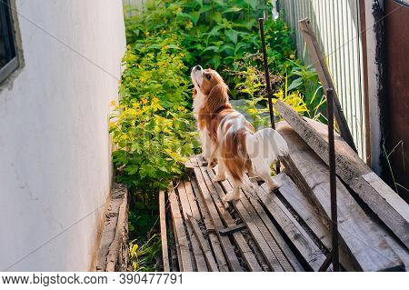 Cavalier King Charles Spaniel Puppy, White With Brown Spots. Stands In The Courtyard Of The House. P
