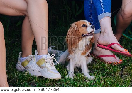 Cavalier King Charles Spaniel Puppy, White With Brown Spots. Sits In The Courtyard Among The Feet Of