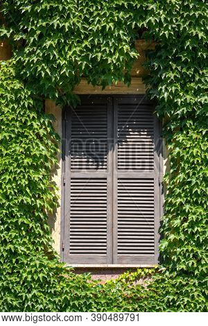 Close-up of an old window with closed wooden shutters on a wall completely covered with green leaves of creeper (Ampelopsis) in summer in Rome, Italy