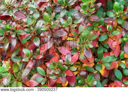 Barberry Thunberg's With Purple, Red And Green Leaves. Background With Multi-colored Leaves.