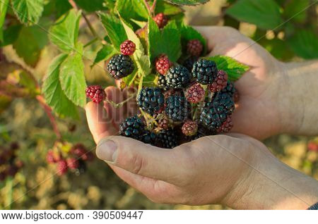 Male Farmers Hands Hold Blackberries During Main Harvest Season. Fresh Organic Blackberries. Ripe An