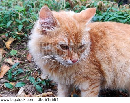 Red Cat Resting On The Green Grass