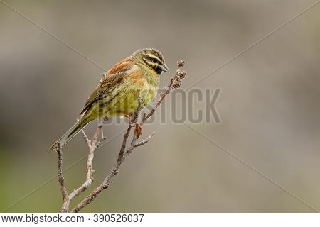 Cirl Bunting - Emberiza Cirlus Yellow Passerine Bird In The Bunting Family Emberizidae, Breeds Acros