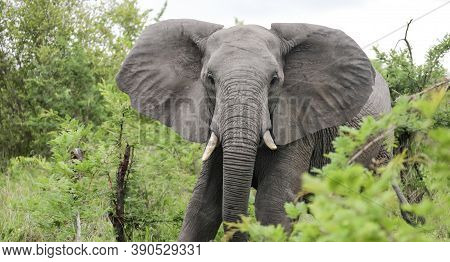 An African Elephant Walks Towards Us With Its Ears Open. A Large Male Elephant Goes To The Camera.