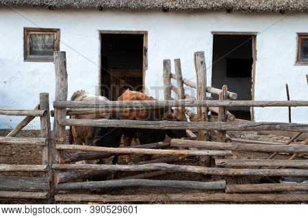 Several Cattle In Cossacks Farmyard On Don, Russia
