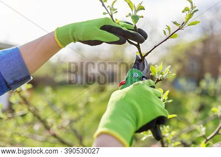 Spring Pruning Of Garden Fruit Trees And Bushes, Close-up Of Gloved Hands With Garden Shears Pruning