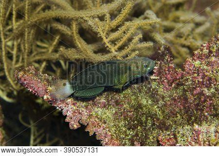 The Banded Goby (amblygobius Phalaena) In Aquarium.