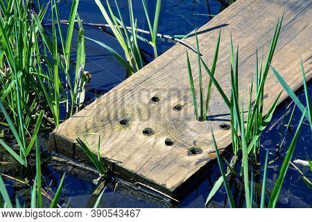 Swamp Plant Growing In Wooden Plank Holes