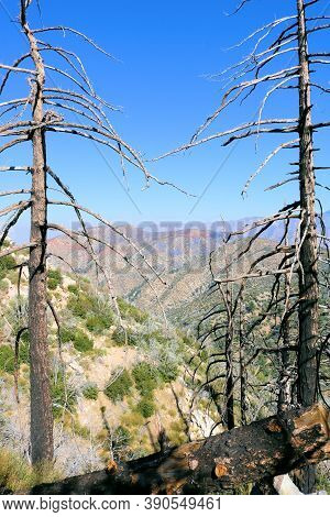 Burnt Pine Trees Caused From A Past Wildfire Taken In The Arid San Gabriel Mountains, Ca
