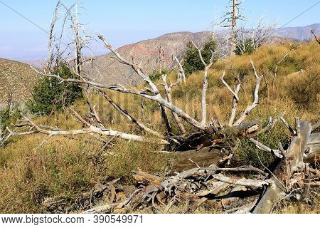 Burnt Pine Trees Caused From A Past Wildfire Which Fell Down After It Weakened And Deteriorated Take