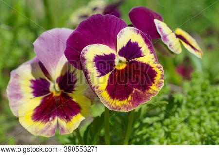 Violet Tricolor (lat. Viola Tricolor), Or Pansies Close-up