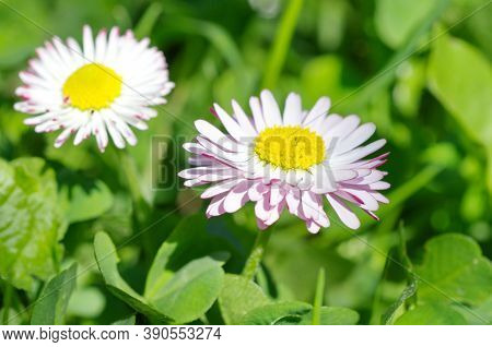 Perennial Daisies (lat. Bellis Perennis) Close Up