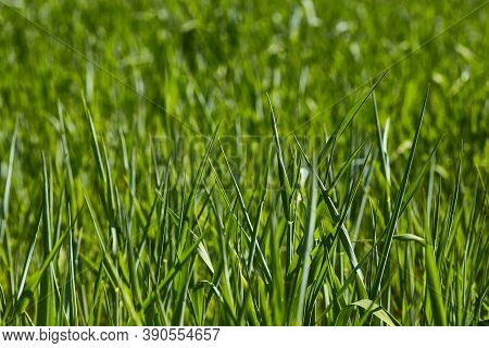 Green Natural Background. Young Green Sprouts Of Wheat Grass. Landscape Of A Young Green Field Of Wh