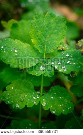 Dew Drops On Chelidonium Majus, An Important Medicinal Plant With Medicinal Properties.