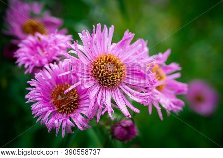 Autumn Aster Flowers With Water Drops.