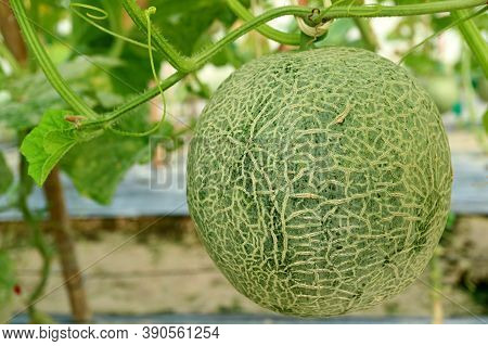 One Nearly Ripe Muskmelon Fruit On In Trees In The Greenhouse