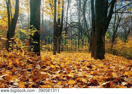 Sunny Autumn Scenery In The Park. Trees In Colorful Foliage. Ground Covered With Fallen Leaves. Seas