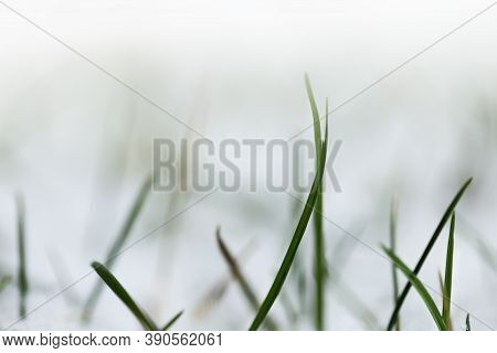 Grass In The Snow.rimes On Plants In The Garden. Winter Natural Plant Background . November And Dece